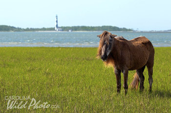 Wild horse at Cape Lookout Lighthouse