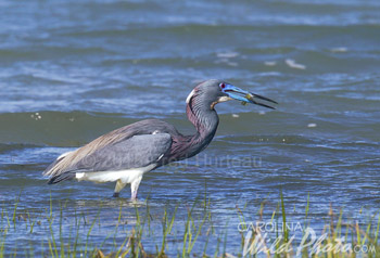 Tri-colored Heron on an island at Shackleford