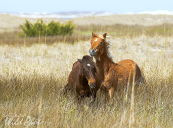 Stallion and mare at Shackleford Banks