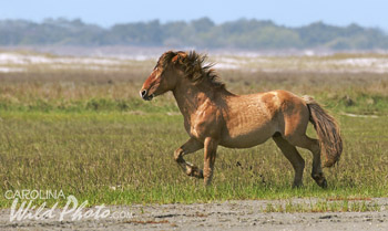 Wild horse action at Rachel Carson Reserve