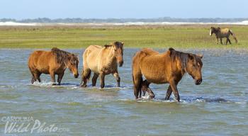 Wild horses at Rachel Carson Reserve