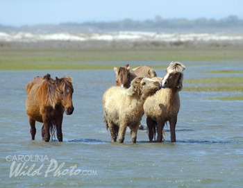 A wooly yearling nuzzles his look-alike father at Rachel Carson Reserve, Beaufort