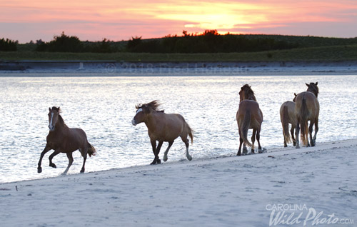 Stallions chasing on the beach as the sun sets.