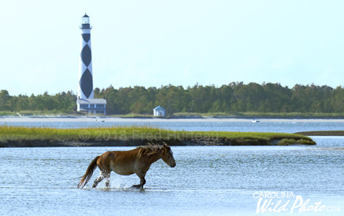 Cape Lookout Lighthouse rises behind this Shackleford pony wading between islands.