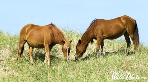 These horses on Shackleford graze high atop the dunes overlooking the Atlantic.