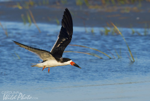 In the fall you can find flocks of Black Skimmers.