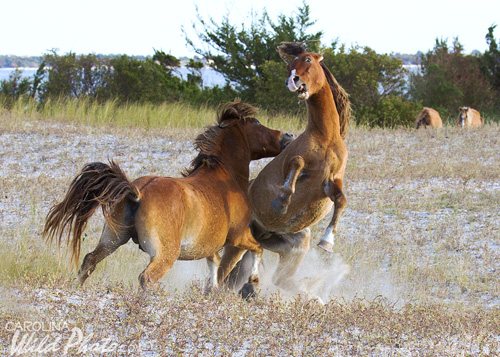 Two stallions go at it on Rachel Carson Reserve.