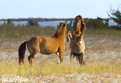 Two stallions square off on Rachel Carson Reserve.