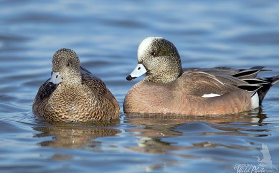 American Wigeons, hen and drake