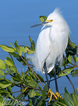 A fearless Snowy Egret at Ding Darling NWR