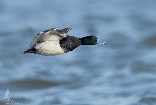 Drake Scaup smiling at me