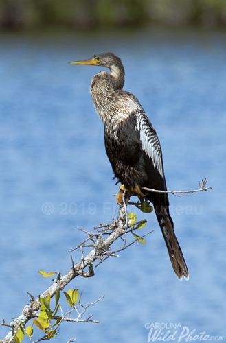 Glossy Ibis, Black Point Wildlife Drive, Merritt Island NWR