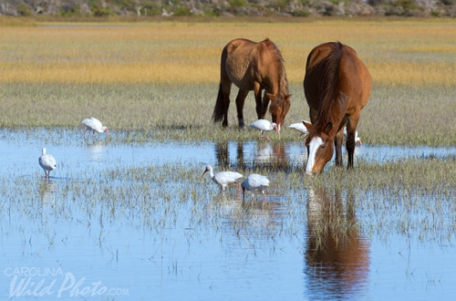 Horses and White Ibis on Rachel Carson Reserve.