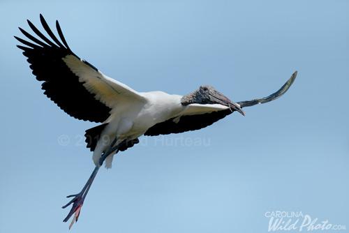 Woodstork in flight at St. Augustine Alligator Farm bird rookery