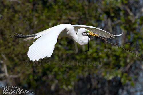 Great Egret brings nesting material at St. Augustine Alligator Farm bird rookery