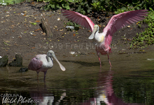 Roseate Spoonbills enjoy the pond at St. Augustine Alligator Farm bird rookery