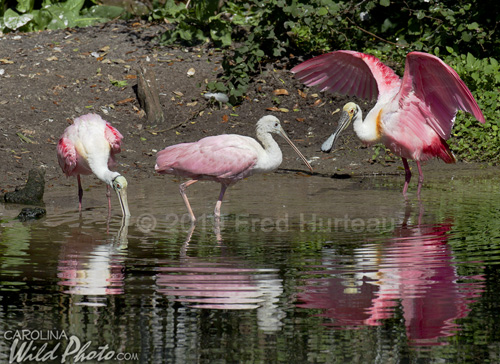 Roseate Spoonbills at St. Augustine Alligator Farm bird rookery