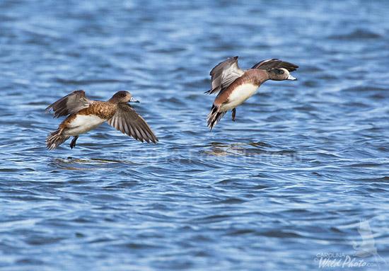 American Wigeon pair landing