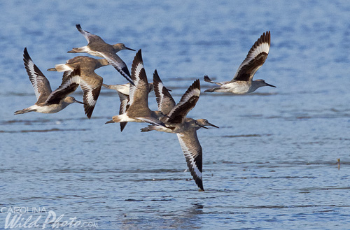 Willets in flight at Ding Darling NWR.