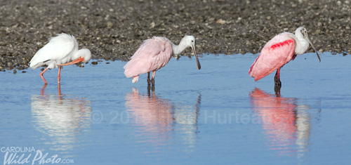 Roseate Spoonbill and White Ibis at Ding Darling NWR
