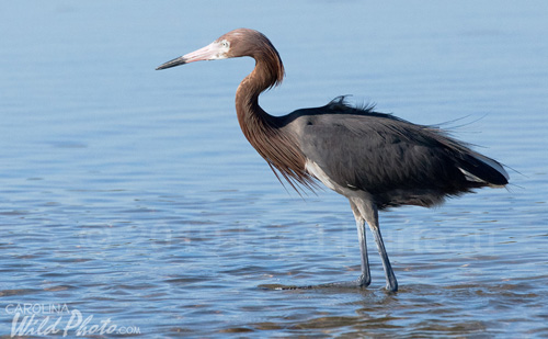 Reddish Egret at Ding Darling NWR
