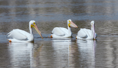 White Pelicans at Estero Lagoon