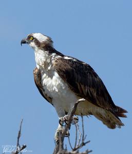 A lone Osprey at Estero Lagoon