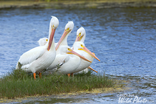 White Pelicans, Black Point Wildlife Drive, Merritt Island NWR