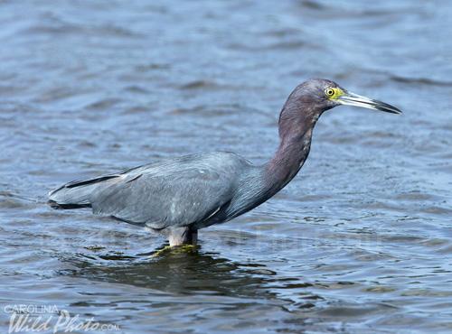 Little Blue Heron adult, Black Point Wildlife Drive, Merritt Island NWR