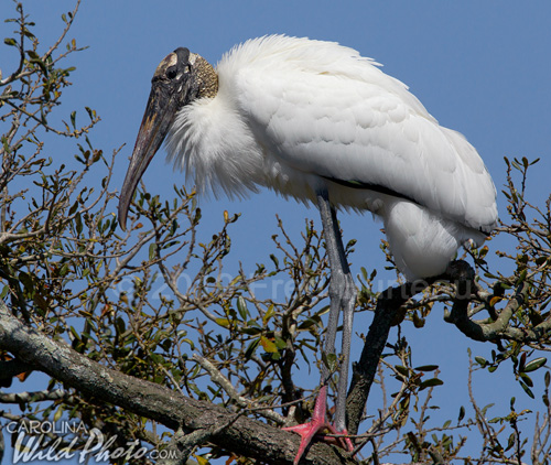 Woodstork perched in tree at St. Augustine Alligator Farm bird rookery