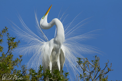 Great Egret in mating display at St. Augustine Alligator Farm bird rookery