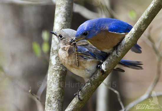 The male Bluebird watches