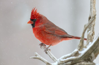 Male Cardinal and snowflakes