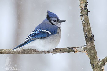 Fluffed up Bluejay braving the snow