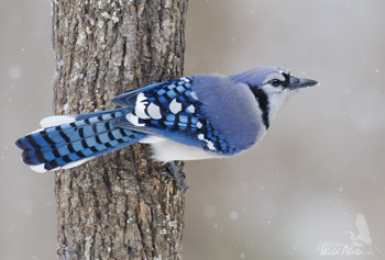 Bluejay on the prowl