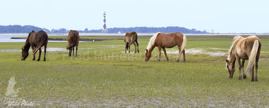 wild horses at Shackleford with Cape Lookout Lighthouse
