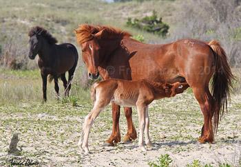 wild horses at Shackleford Banks