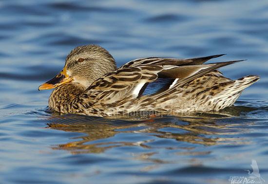 Duck Portraits « Carolina Wild Photo (the blog) Hen Redhead Duck Wing