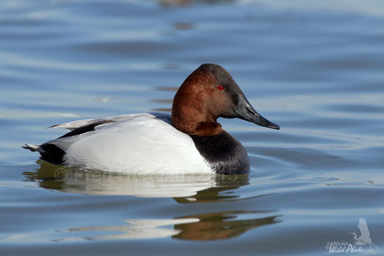 normal male Canvasback
