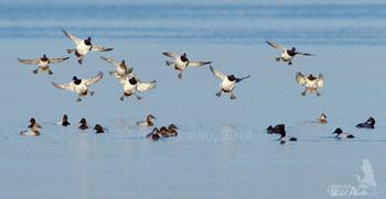 A flight of Scaup landing