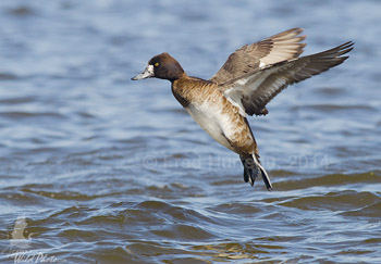 A flight of Scaup landing