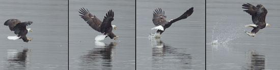 Bald Eagle catches fish