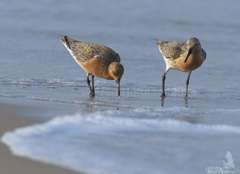 Red Knots at Fort Macon