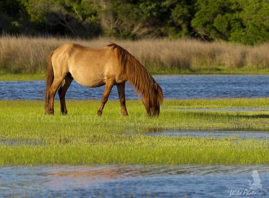 wild horse at Rachel Carson reserve, Beaufort