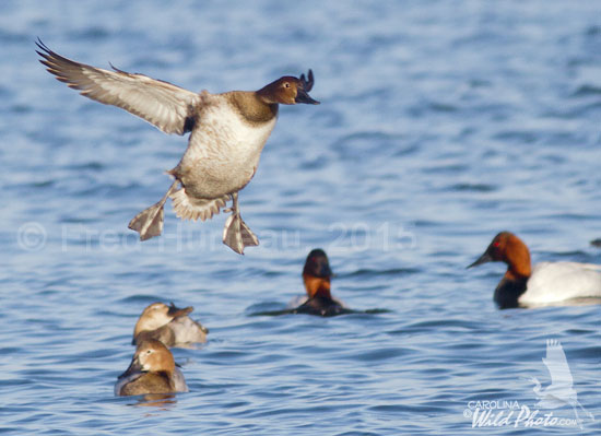 Canvasback hen on final approach