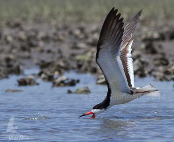 Black Skimmer at Rachel Carson reserve
