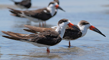 Black Skimmers at Rachel Carson reserve