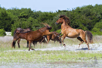 A mare rebuffs a stallions unwanted advances