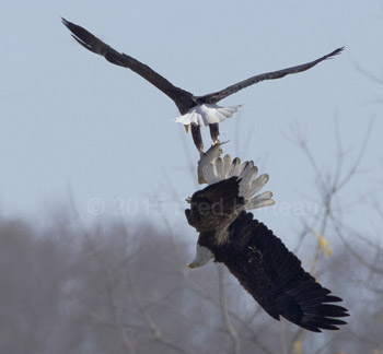 bald eagle stealing fish