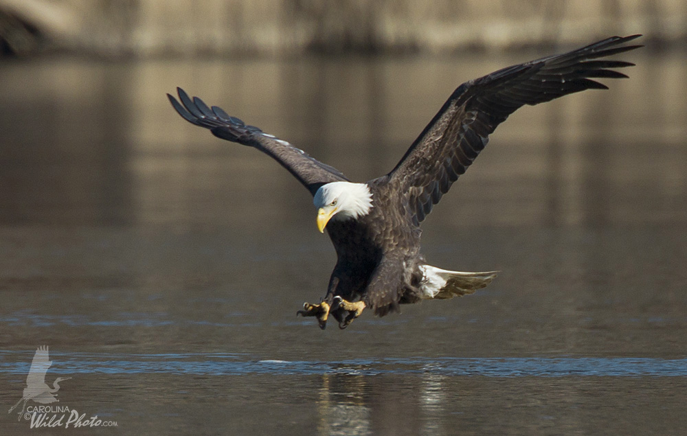 Adult Eagle with talons outstretched a split second before the catch